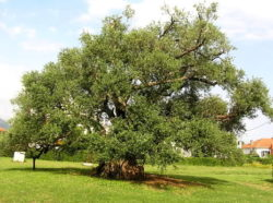 Olive Oil Tour Split